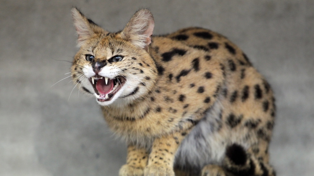 Exotic Cats Found In Vacant House In Charles Town – CBS DC