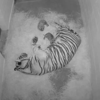 Two newborn Sumatran tiger cubs rest with mother Damai at the National Zoo. (credit: National Zoo)