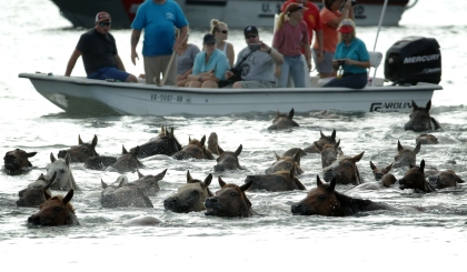 CHINCOTEAGUE, VA - JULY 29:  Wild ponies are herded into the Assateague Channel during the annual pony swim event from Assateague Island to Chincoteague on July 29, 2015 in Chincoteague, Virginia. Wild ponies were rounded up on the national wildlife refuge and herded across the channel where some will be auctioned off by the Chincoteague Volunteer Fire Company during the 90th annual event. (Photo by Alex Wong/Getty Images)