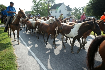 CHINCOTEAGUE, VA - JULY 29:  Wild ponies are herded toward the carnival grounds after they swam across Assateague Channel during the annual pony swim event from Assateague Island to Chincoteague on July 29, 2015 in Chincoteague, Virginia. After crossing from the national wildlife refuge, some are auctioned off by the Chincoteague Volunteer Fire Company during the 90th annual event.  (Photo by Alex Wong/Getty Images)