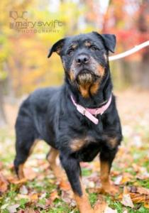 Dana the 7-year-old Rottweiler mix. (Courtesy of the Baltimore Humane Society)